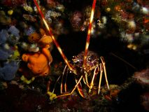 A Lobster 2. Another lobster, also hidden in its hole royalty free stock image