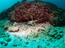 Lobster. Lonely lobster Seychelles coral reef royalty free stock photos