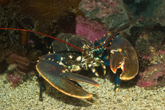 Free Lobster Royalty Free Stock Photo - 21592635