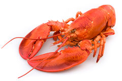 Lobster. Large cooked red lobster on white background Royalty Free Stock Photography