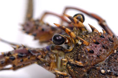 Lobster. Close up freshly lobster head Stock Photography