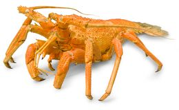 Lobster. Jasus lolandei (spiny lobster, rock lobster) are widespread in the warm seas near coast of Australia, Africa and America. Contains a Photoshop path and stock image