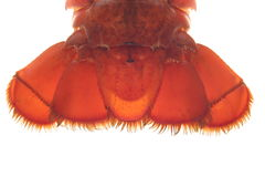 Lobster. Detail of lobster stock images