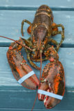 Lobster. Fresh live uncooked lobster with banded claws royalty free stock photography