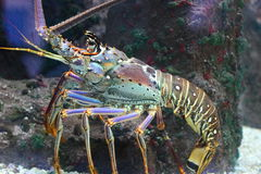 Lobster. A body view of a lobster walking around underwater Royalty Free Stock Image