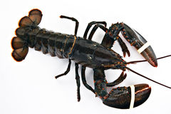 Lobster. Fresh lobster isolated on white Royalty Free Stock Image