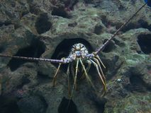 Lobster. Colorful Spiny Lobster Stock Photos
