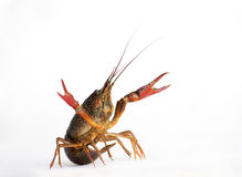 Lobster. Red lobster on a white background with drops around Royalty Free Stock Image