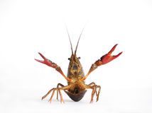 Lobster. Red lobster on a white background with drops around Stock Photo