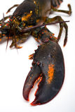 Lobster. Raw lobster in vertical composition Stock Photography