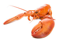 Lobster. Large cooked lobster on a white background royalty free stock photography