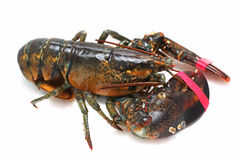 Lobster alive Stock Photos