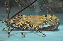 Lobster in aquarium Stock Photo