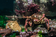 Lobster in Aquarium Cape Town Royalty Free Stock Photo