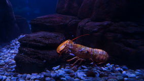 Lobster in an aquarium. Lobsters in an aquarium exhibit. Close up stock footage