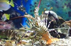 Lobster in aquarium Stock Image