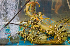 Lobster in aquarium, Pattaya, Thailand. Lobster in the aquarium, the seafood shop in Pattaya, Thailand Royalty Free Stock Image