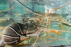Lobster aquarium. Stock Photos