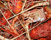 Lobster background. Background of many cooked lobsters on a one heap Royalty Free Stock Images