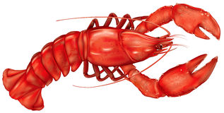 Lobster. Boiled lobster on a white background. vector illustration Stock Photos