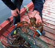 Lobster catch of the day. Fisherman holding in his hand a big lobster from the catch of the day and this photo displays the lobster rich colors Royalty Free Stock Photos