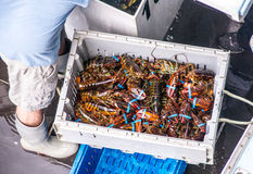 The Daily Lobster Catch Royalty Free Stock Photography