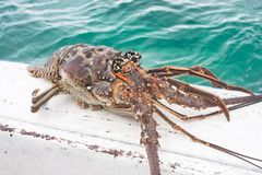 Lobster caught in the sea. Cuba Royalty Free Stock Photo