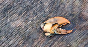 Lobster Claw. Shattered lobster claw left on dock Stock Images