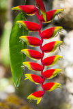 Lobster-Claw Flower, Seychelles Stock Photo