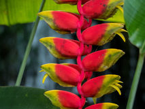 Lobster claw Heliconia rostrata. Close up Malaysia Royalty Free Stock Photography