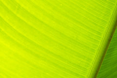 Lobster Claw Plant Leaf Close Up and Backlit Royalty Free Stock Photo