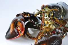 Lobster closeup Stock Photo