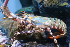 Lobster. The colorfull lobster in the aquarium at the local museum royalty free stock photos