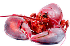 Lobster cooked and isolated Royalty Free Stock Image
