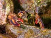 Lobster in coral reef stock image