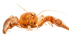 Lobster crab isolated Royalty Free Stock Photography