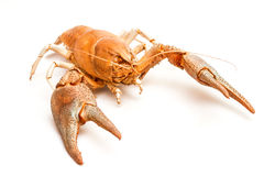 Lobster crab isolated Royalty Free Stock Photos