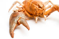 Lobster crab isolated Stock Photography