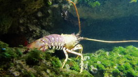 A Lobster Crawls Over an Underwater Reef. A lobster crawls along the ocean floor in an aquarium in La Rochelle, France stock video