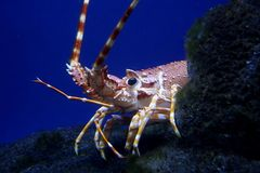 Lobster or Crayfish Royalty Free Stock Photos