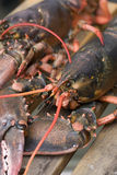 Lobster on dock Stock Images