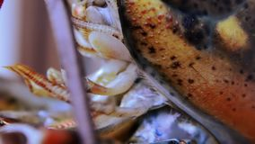 Lobster extreme close up stock video footage