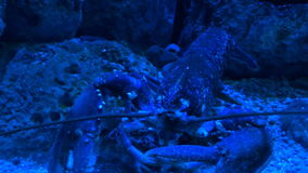 Lobster feeding under blue light. Lobster is feeding at the dark bottom of sea or aquarium under blue light stock video