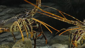 Lobster fight underwater. Two lobsters fighting in the aquarium . Lobster on the left hits the other with antennae, makes an aggressive pose and starts pushing stock video