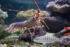 Lobster and fish in aquarium Stock Photography