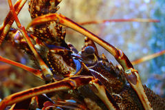 Lobster in a fish tank Royalty Free Stock Images