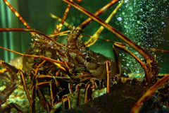 Lobster in a fish tank Stock Photo