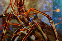 Lobster in a fish tank Stock Image