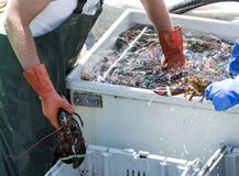 Lobster fisherman reaching into water filled bin of live lobster Royalty Free Stock Photography