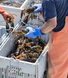 Three live lobsters being held by fishermen. Lobster fishermen holding live lobsters while wearing gloves so they can sort the lobsters into separate bins by stock images